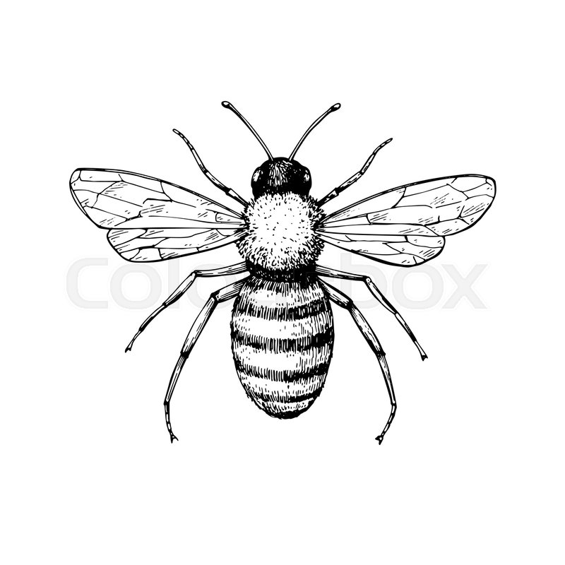 Honey Bee Vintage Vector Drawing Hand Stock Vector Colourbox