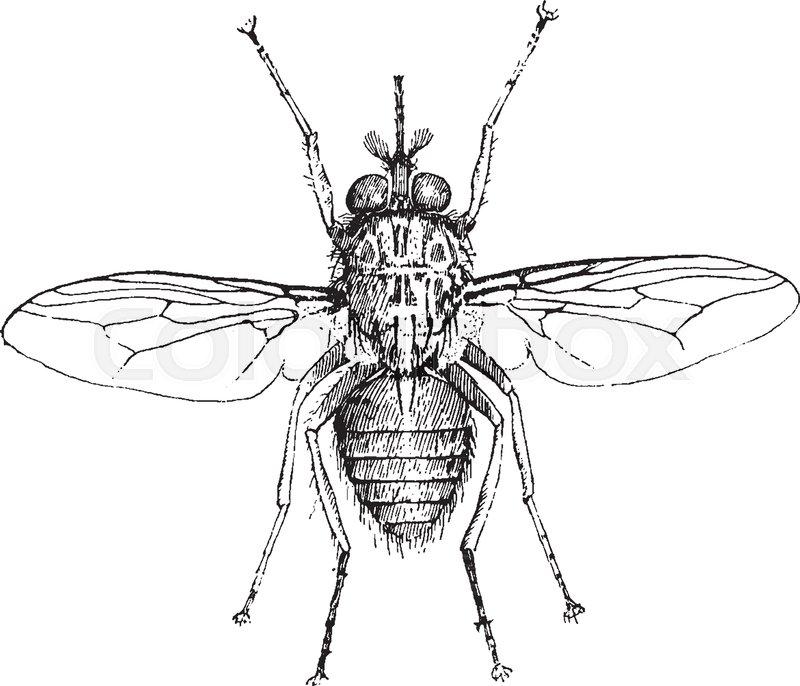 Tsetse Fly also known as tik tik flies are large biting flies ...