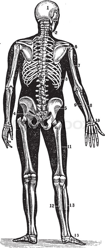 This illustration represents back view of a human skeleton vintage this illustration represents back view of a human skeleton vintage line drawing or engraving illustration stock vector colourbox ccuart Gallery