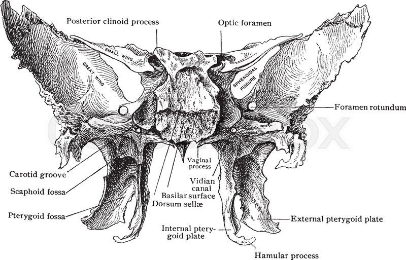 This Illustration Represents Sphenoid Bone From Behind Vintage Line