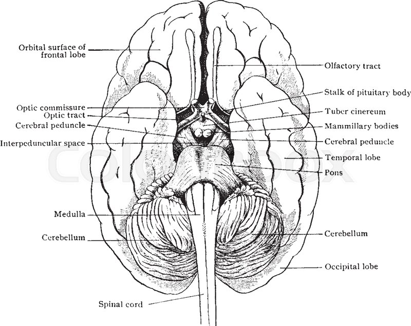 Simplified drawing of brain as seen from below showing relations of ...