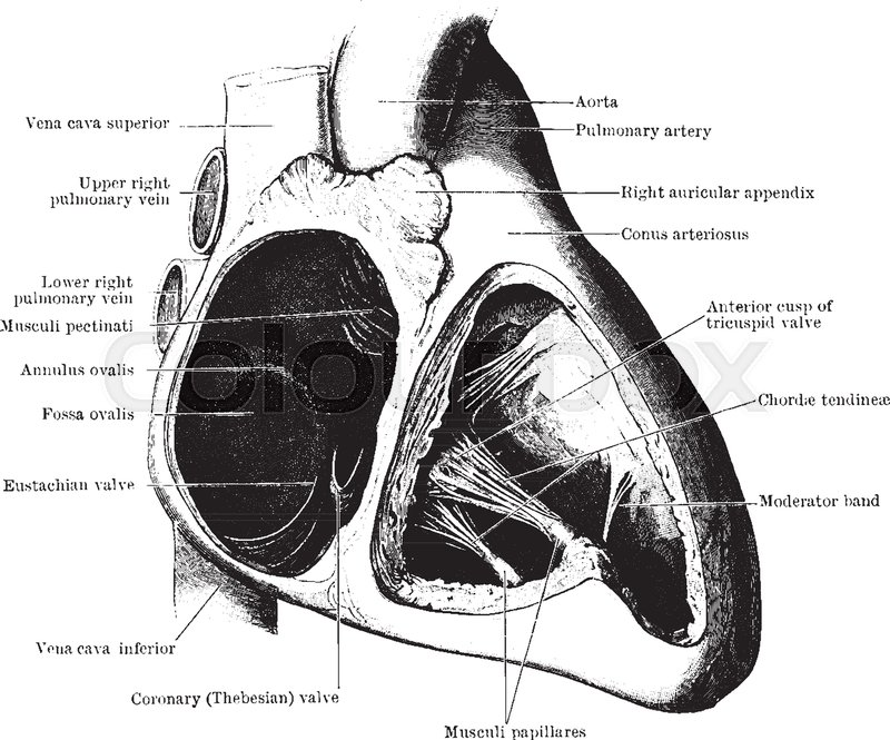 This diagram represents various function of Auricle and Ventricle of ...
