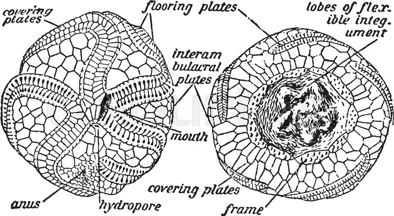 Illustration shows diagram of the anatomy of a sea urchin. Sea ...