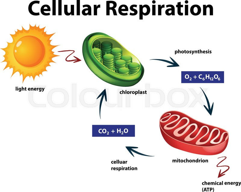 Diagram Showing Cellular Respiration Stock Illustration Manual Guide
