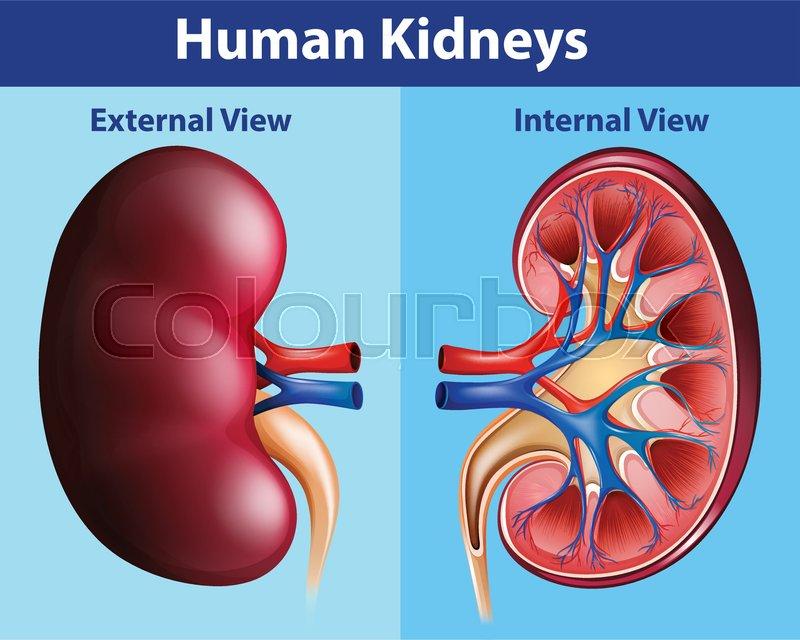 Human Anatomy Diagram With Kidneys Illustration