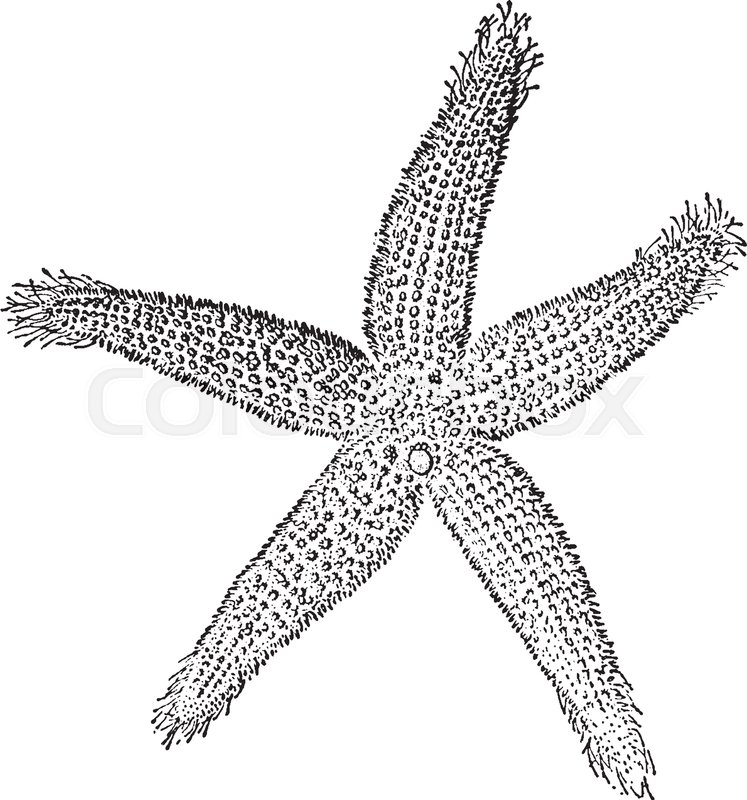 the common starfish is a five rayed star the central body is called