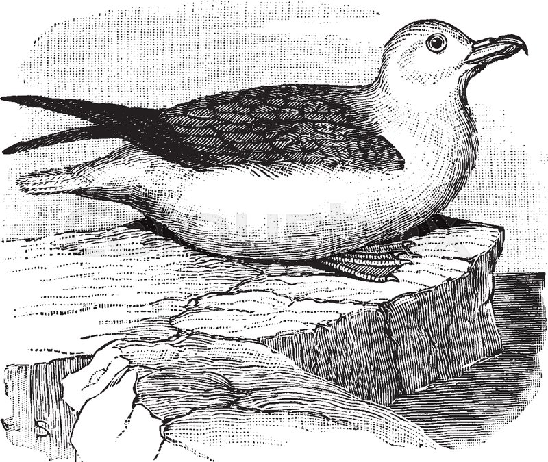 Northern Fulmar Is A Bird In The Procellariidae Family Of Seabirds Vintage Line Drawing Or Engraving Illustration