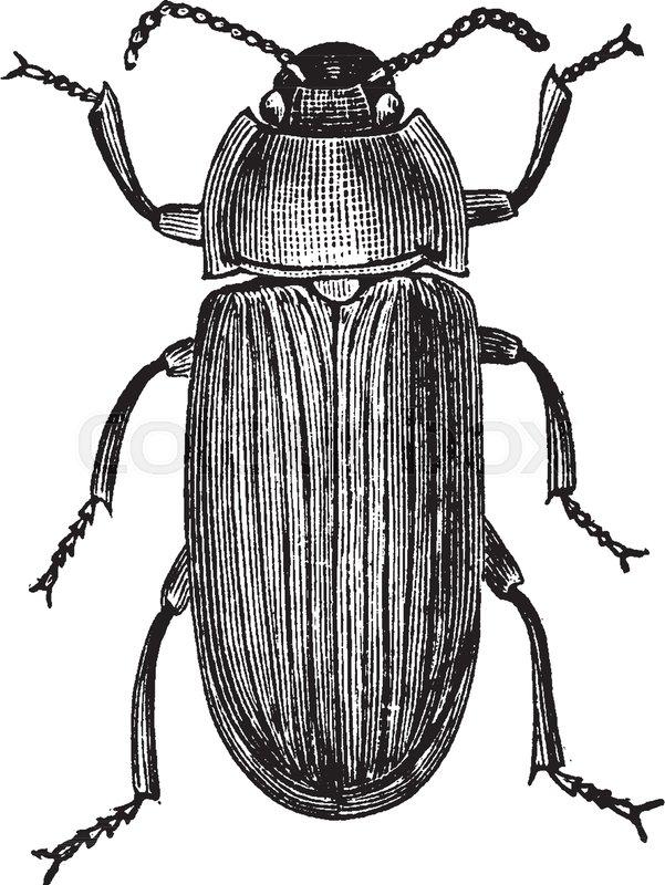mealworm beetle is a species of darkling beetle vintage line