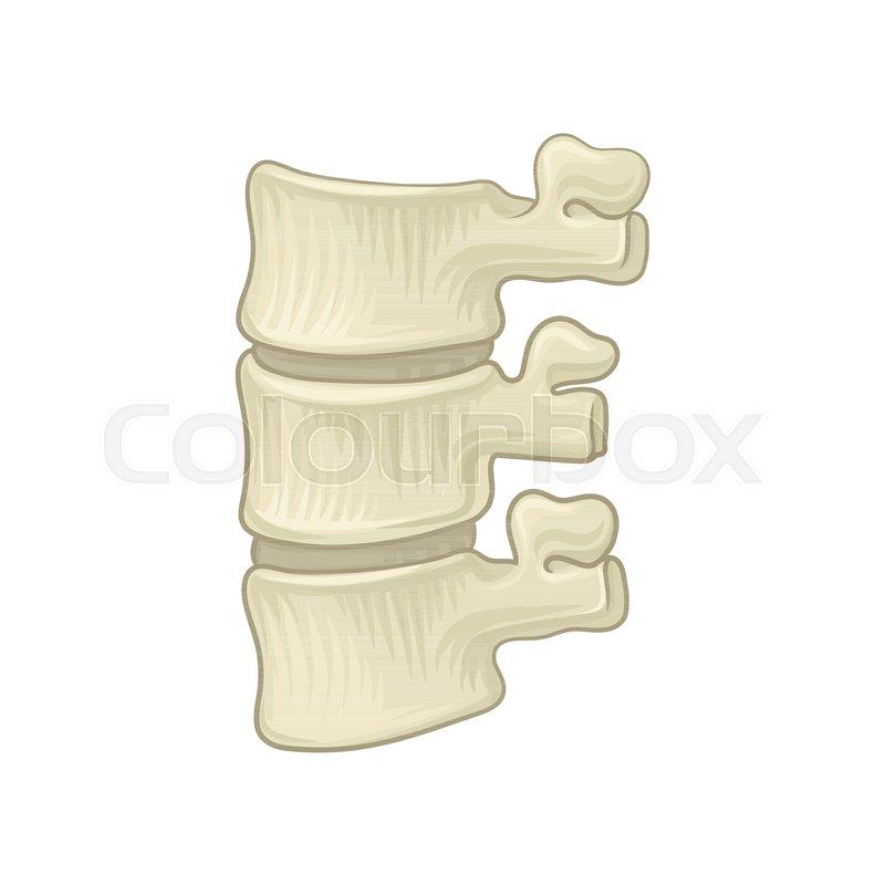 Anatomy Of Lumbar Spine Part Of Human Backbone Vertebral Bones And