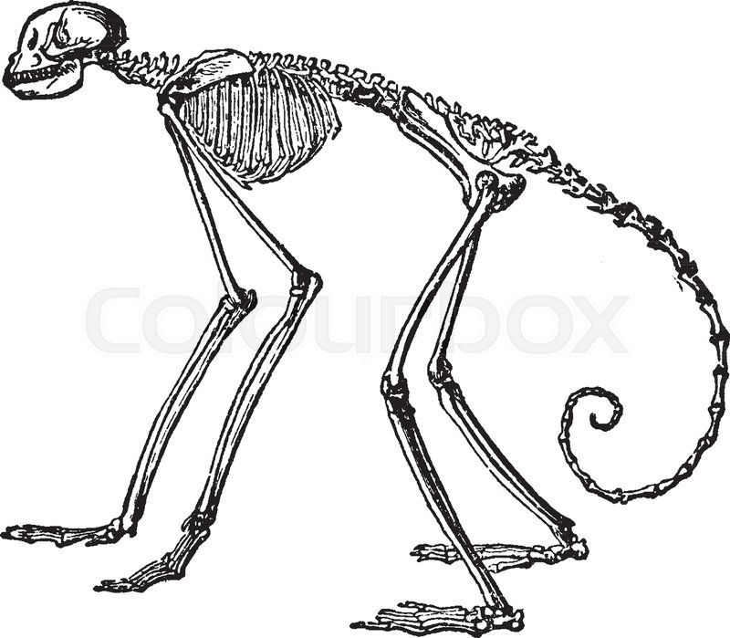 Side View Of Skeleton Of South American Spider Monkey In Which The  Proportion In The Spider Monkeys Of The Genus Ateles, Vintage Line Drawing  Or Engraving ...