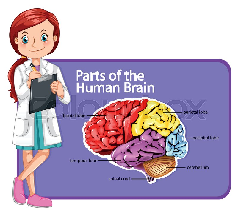 Doctor And Parts Of Human Brain Illustration Stock Vector Colourbox