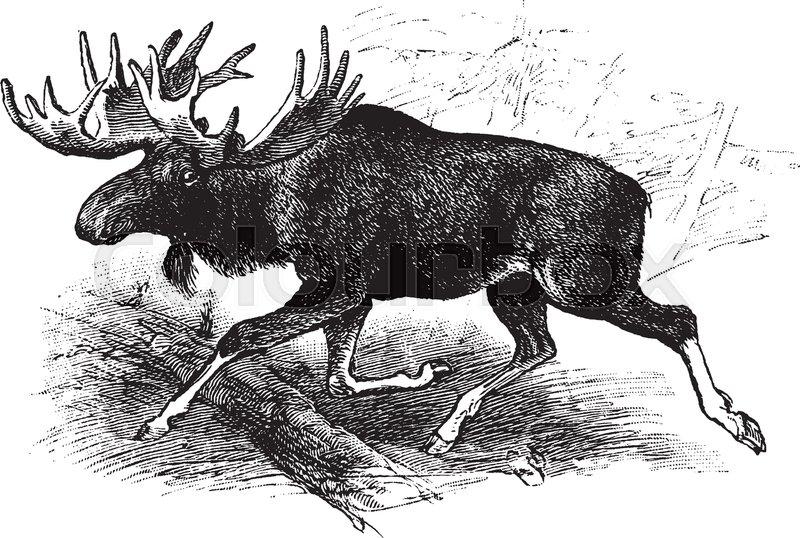 Line Drawing Deer : American moose which is the largest extant species in deer