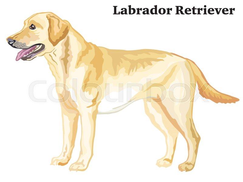 Portrait of standing in profile dog Labrador Retriever, vector ...