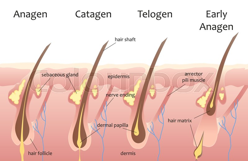 Human head hair growth cycle. Biological catagen, telogen phases ...