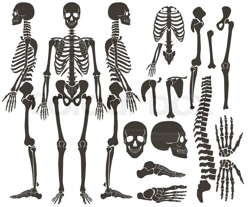 Human Bones Skeleton Dark Black Stock Vector Colourbox