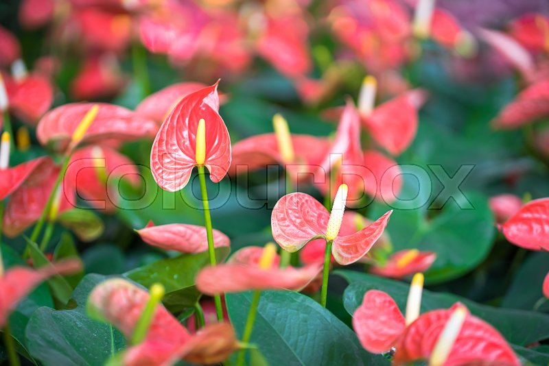 Close up of pink anthurium or flamingo flowers in garden stock close up of pink anthurium or flamingo flowers in garden stock photo colourbox mightylinksfo
