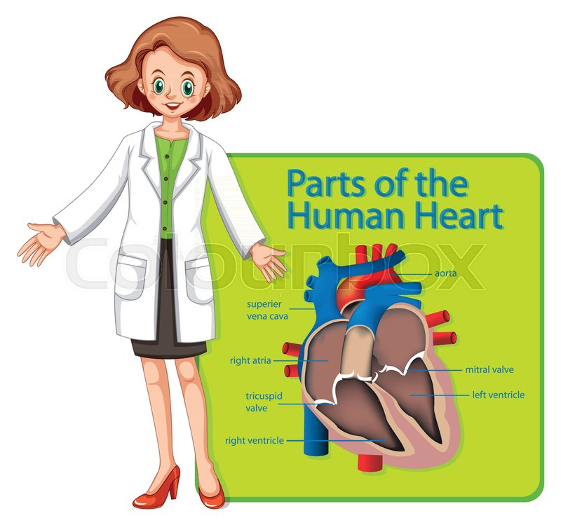 Doctor And Poster Showing Parts Of Human Heart Illustration Stock