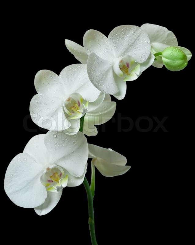 White orchid on black background | Stock Photo | Colourbox
