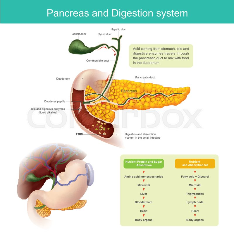 The digestive enzymes travels through the pancreatic duct to mix ...