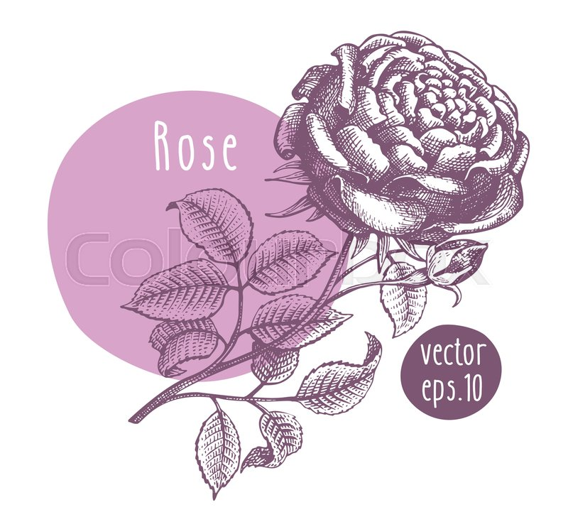 Hand Drawn Vintage Rose Vector Stock Vector Colourbox