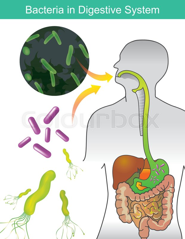 Bacteria In Digestive System Stock Vector Colourbox