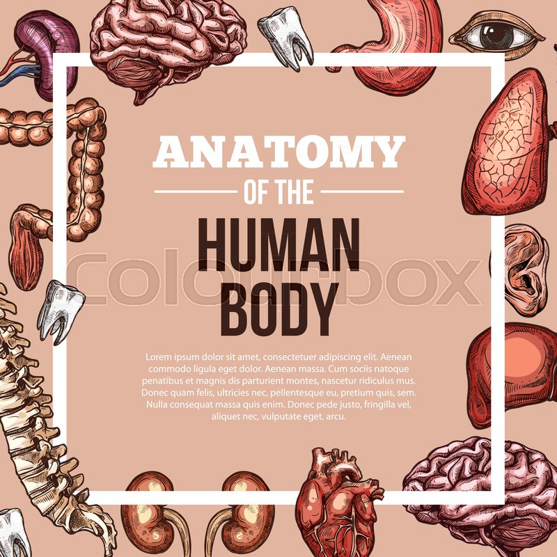 Human Body Anatomy Sketch Vector Poster Of Internal Organs Of