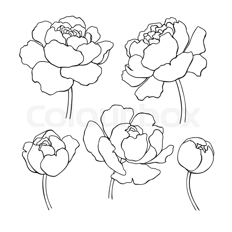 Flower Head Line Drawing : Peony line drawing vector hand drawn stock