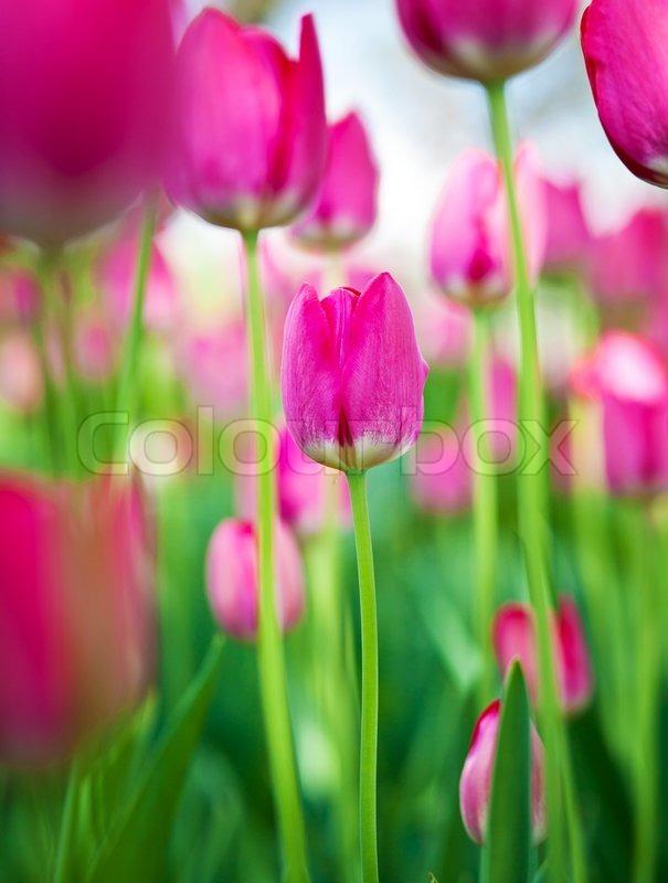 Beautiful spring flowers pink tulips stock photo colourbox mightylinksfo