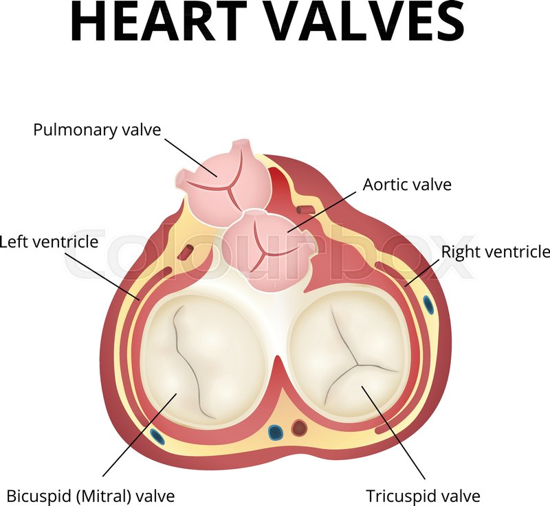 The work of heart valves, anatomy of the human heart, the heart in a ...