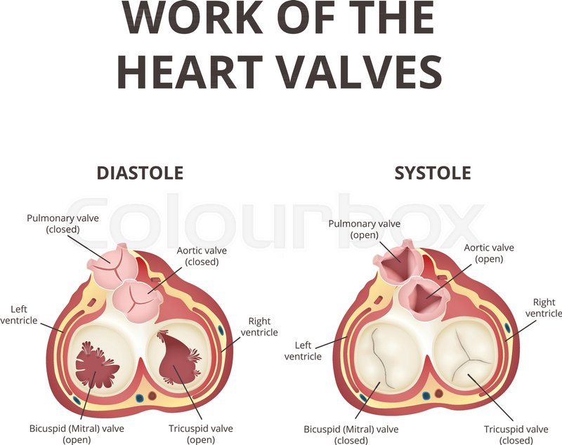 The Work Of Heart Valves Anatomy Of Stock Vector Colourbox