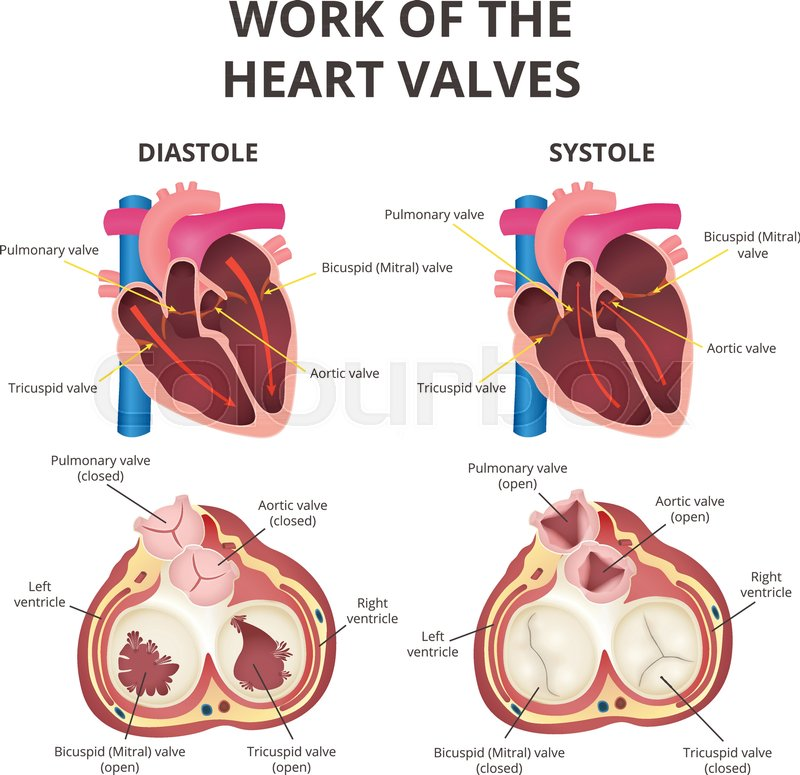 The work of heart valves, anatomy of the human heart, diastole and ...
