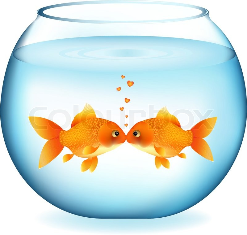 Zwei goldfische kissing in aquarium isolated on white for Goldfische im aquarium