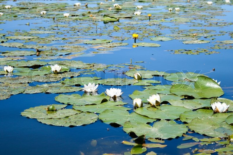 Lilies And Water Lilies On A Old Pond Stock Photo Colourbox