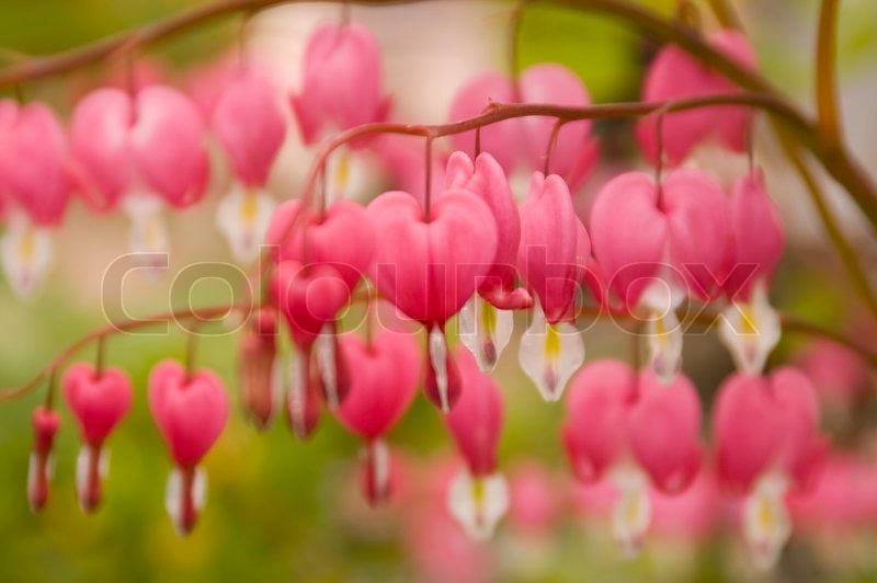 dicentra oder bleeding heart eine krautige staude stockfoto colourbox. Black Bedroom Furniture Sets. Home Design Ideas