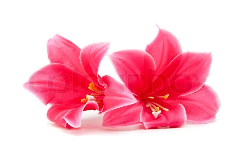Pink flower isolated on white background | Stock Photo ...