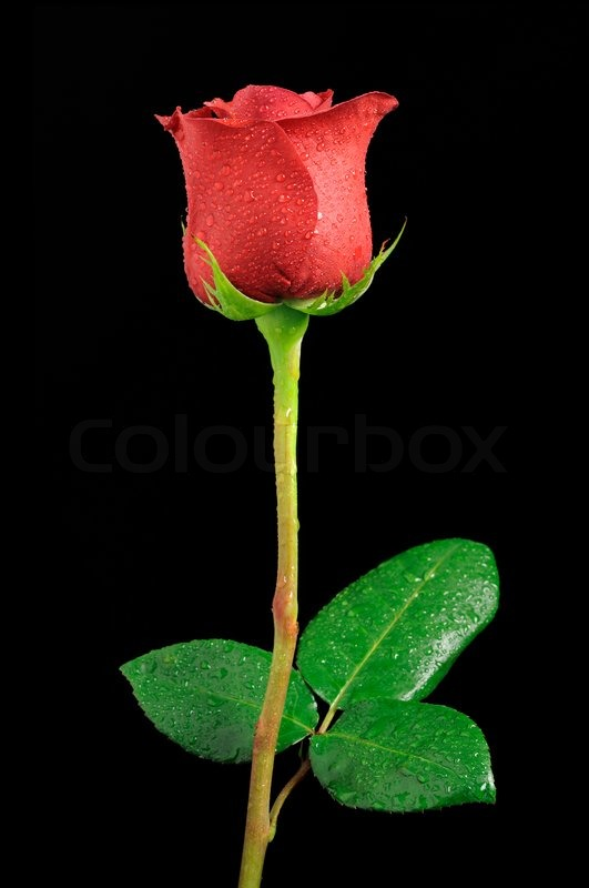 Beautiful Red Rose With Dew Drops On Stock Photo Colourbox