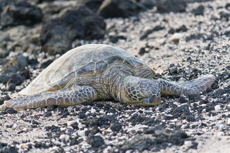 Sea turtle on the rocky, black and white beach in shallow dof, stock photo