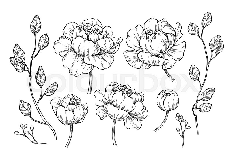 Peony Line Drawing Tattoo : Peony flower and leaves drawing vector hand drawn