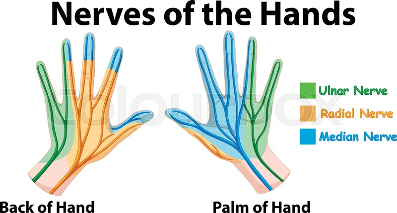800px_COLOURBOX31939874 diagram showing nerves of hands stock vector colourbox