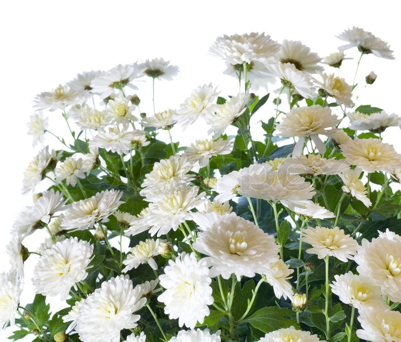 Beautiful White Chrysanthemum Flower Stock Photo Colourbox