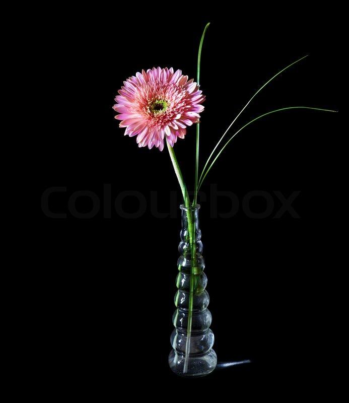 rosa gerbera in glasvase auf schwarzem hintergrund isoliert stockfoto colourbox. Black Bedroom Furniture Sets. Home Design Ideas
