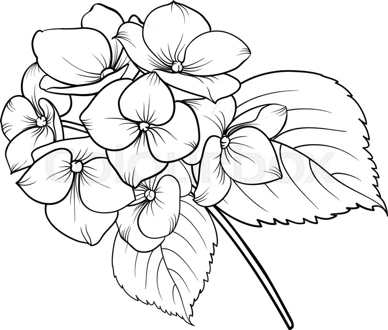 hydrangea outline to draw