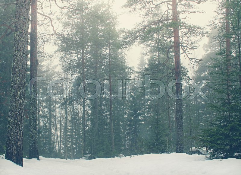 Snow covered pine forest with tall trees, stock photo