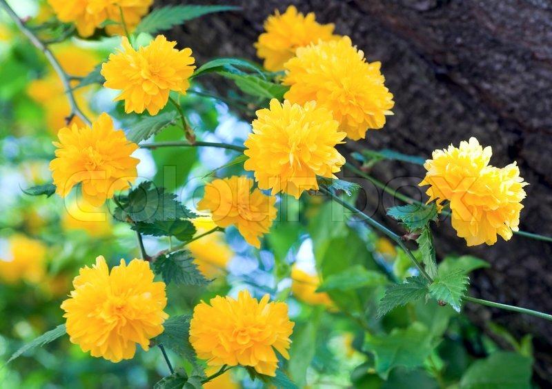 smukke for r kvist med gule blomster makro stock foto colourbox. Black Bedroom Furniture Sets. Home Design Ideas