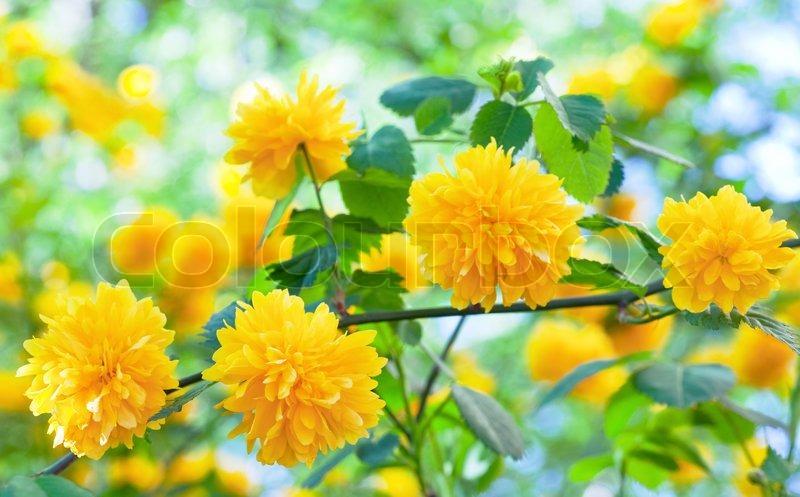 smukke for r kvist med gule blomster makro stock foto. Black Bedroom Furniture Sets. Home Design Ideas