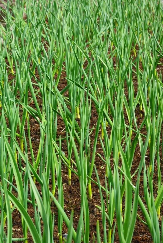 Winter garlic sprouts in early spring at the kitchen garden, stock photo