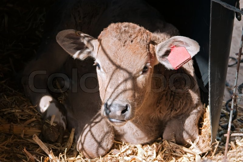 Stock image of 'Newborn calf is brown in the stall'