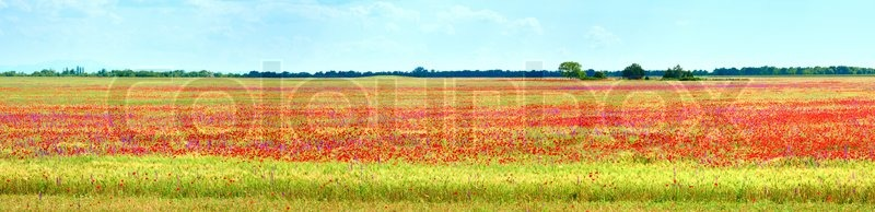 Stock image of 'Summer field with beautiful red poppy flowers'