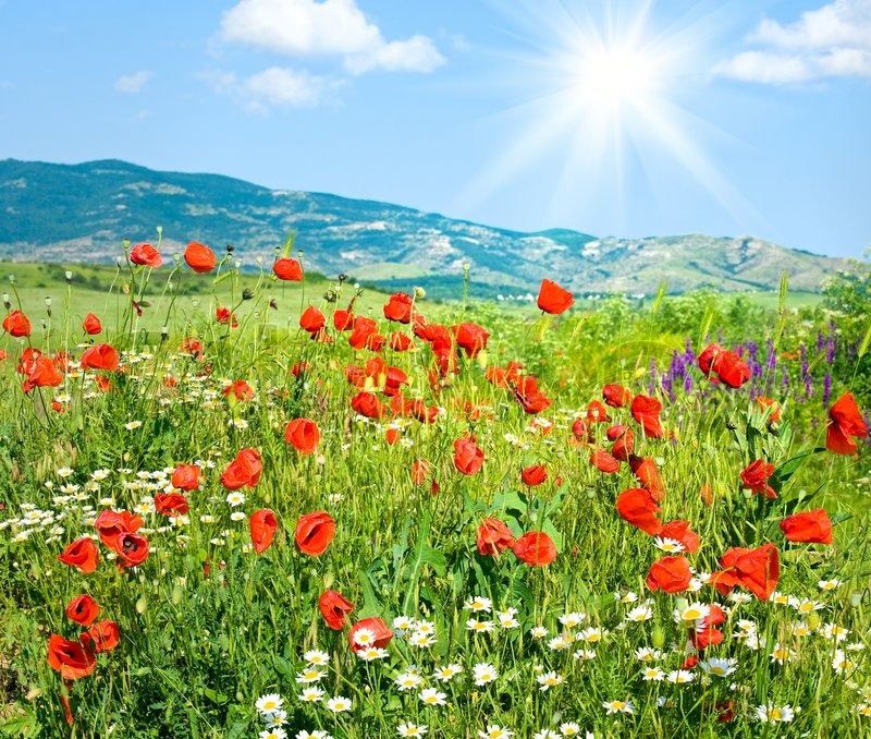 Flower  on Stock Image Of  Beautiful Summer Mountain Landscape With Red Poppy And