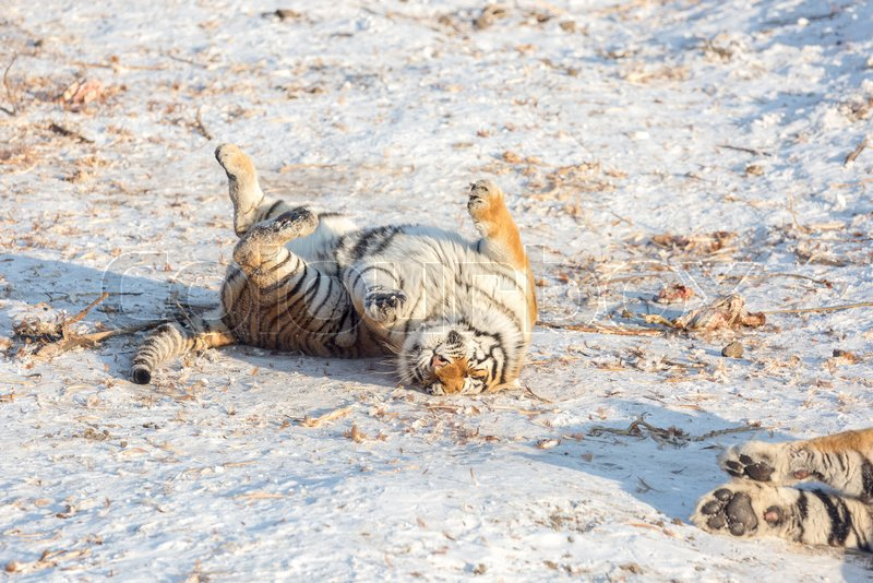 Siberian lay down in snow field with relax poses, stock photo